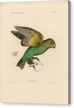 Brown-headed Parrot, Piocephalus Cryptoxanthus Canvas Print