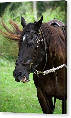 Brown Horse Chewing Canvas Print by Thomas Woolworth