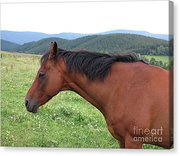 Brown Horse On Pasture Canvas Print by Michal Boubin