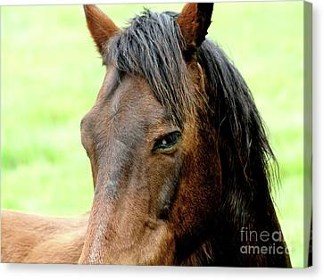Brown Horse With Sultry Eye . R5907 Canvas Print by Wingsdomain Art and Photography
