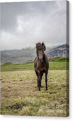 Canvas Print featuring the photograph Brown Icelandic Horse by Edward Fielding