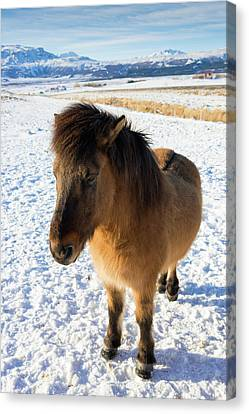 Canvas Print featuring the photograph Brown Icelandic Horse In Winter In Iceland by Matthias Hauser