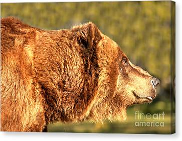 Brown Kodiak Canvas Print