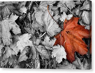Brown Maple Leaf Canvas Print