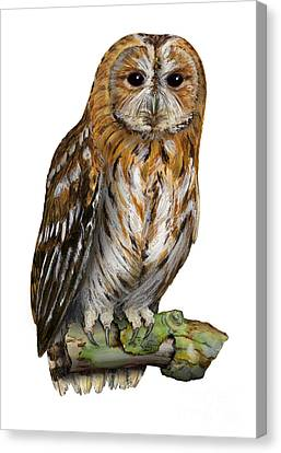 Canvas Print featuring the painting Brown Owl Or Eurasian Tawny Owl  Strix Aluco - Chouette Hulotte - Carabo Comun -  Nationalpark Eifel by Urft Valley Art