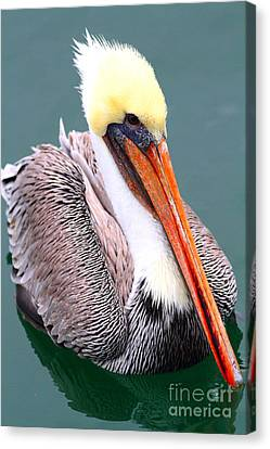 Brown Pelican . 7d8291 Canvas Print by Wingsdomain Art and Photography