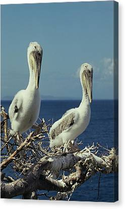 Brown Pelican Chicks In Nest  Canvas Print
