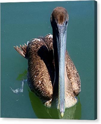 Brown Pelican Canvas Print by Debra Forand