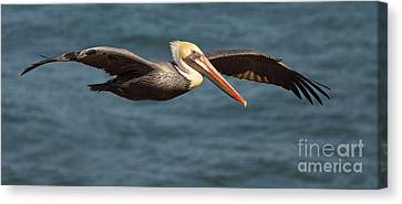 Brown Pelican Flying By Canvas Print by Max Allen