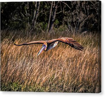 South Carolina State Bird Canvas Print - Brown Pelican Flying Over Marsh by Joe Granita