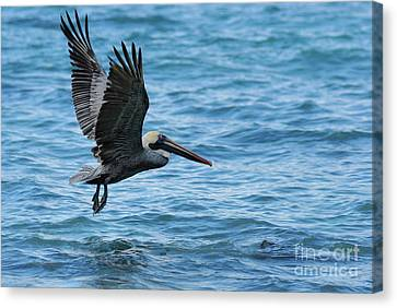 Brown Pelican In Flight Over Water Canvas Print by Sami Sarkis