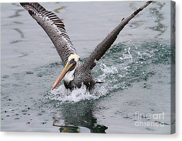 Bif Canvas Print - Brown Pelican Landing On Water . 7d8372 by Wingsdomain Art and Photography