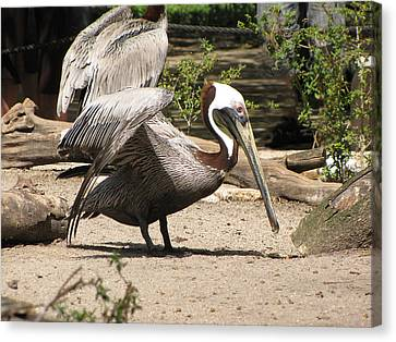 Brown Pelican Canvas Print by Martha Ayotte