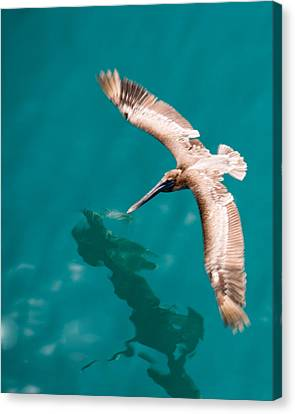 Brown Pelican Offshore Canvas Print by Bill Perry