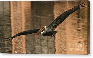 Brown Pelican On A Sunset Flyby Canvas Print by Max Allen