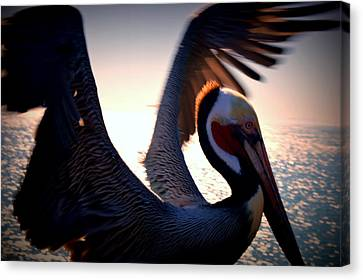 Brown Pelican Canvas Print by Nature Macabre Photography