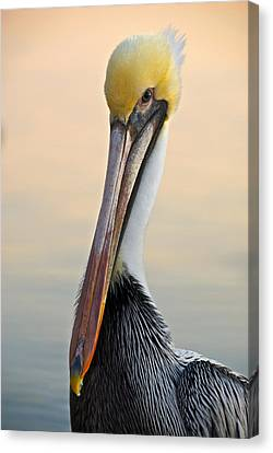 Brown Pelican Portrait Canvas Print by Georgia Nick
