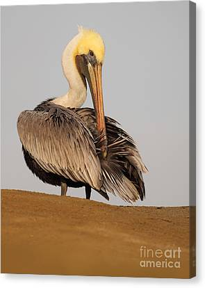 Brown Pelican Preening Feathers On Shifting Sands Canvas Print by Max Allen