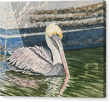 Brown Pelican Swimming Canvas Print by Don Bosley