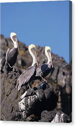 Brown Pelican Trio  Canvas Print by Don Kreuter