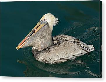 Canvas Print featuring the photograph Brown Pelican With A Mouth Full by Bradford Martin