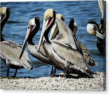 Brown Pelicans Preening Canvas Print
