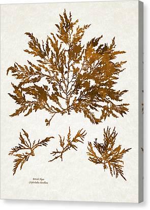 Brown Seaweed Marine Art Chylocladia Clavellosa Canvas Print by Christina Rollo