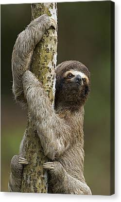 Brown-throated Sloth Canvas Print - Brown-throated Three-toed Sloth by Ingo Arndt