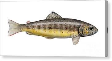 Brown Trout - Autochthonous - Indigenous - Salmo Trutta Morpha Fario - Salmo Trutta Fario Canvas Print by Urft Valley Art