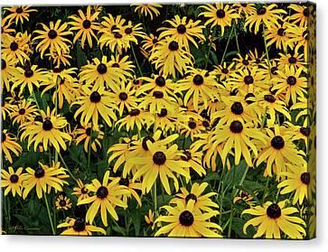 Browneyed Susans Canvas Print by Mikki Cucuzzo