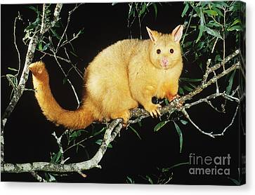 Brush-tailed Opossum Canvas Print by B. G. Thomson