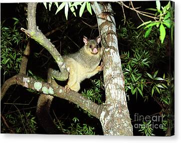 Brushtail Possum Canvas Print by Genevieve Vallee