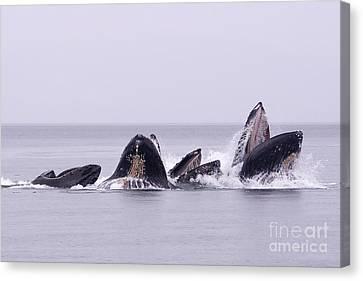 Bubble Feeding Humpbacks Canvas Print by Darcy Michaelchuk
