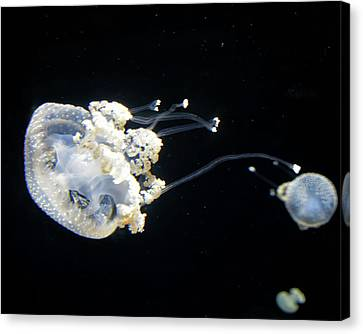 Australian Spotted Jellyfish 2 Canvas Print