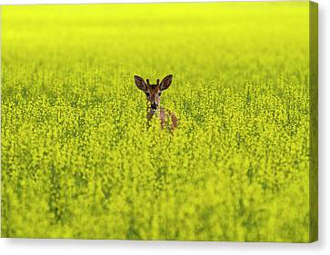 Buck In Canola Canvas Print by Mark Kiver