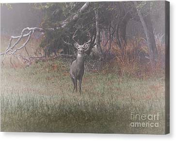 Buck In Foggy Bottoms Canvas Print by Robert Frederick