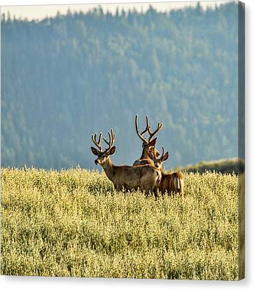 Buck Mule Deer In Velvet Canvas Print by Daniel Hebard