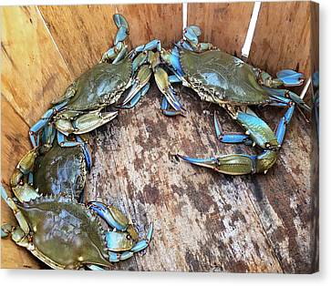 Canvas Print featuring the photograph Bucket Of Blue Crabs by Jennifer Casey