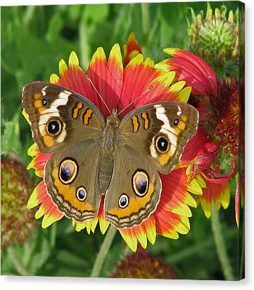 Buckeye On Blanketflower Canvas Print
