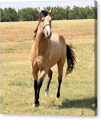 Buckskin Stallion From Front Canvas Print by Cheryl Poland