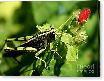 Canvas Print featuring the photograph Bud Hopper by DiDi Higginbotham