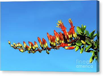 Canvas Print featuring the photograph Budding Ocotillo by Robert Bales