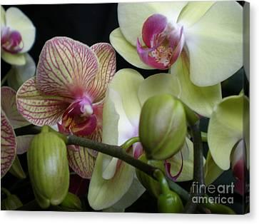 Budding Orchids  Canvas Print