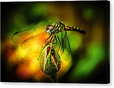 Budding Visitor Canvas Print by Olahs Photography