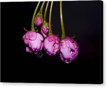Buds Canvas Print by Svetlana Sewell