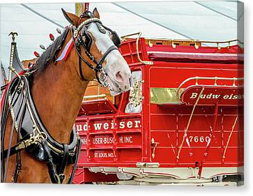 Budweiser Clydesdale In Full Dress Canvas Print by Bill Gallagher