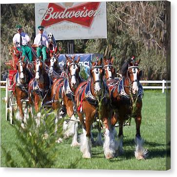Budweiser Clydesdales Perfection Canvas Print