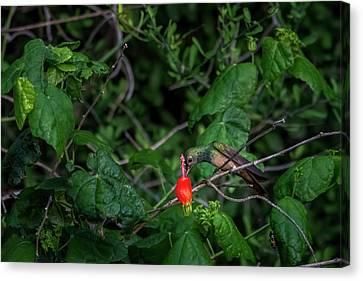Buff-bellied Hummingbird Feeding At Turks Cap Canvas Print by Debra Martz
