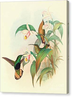 Buff Tailed Velvet Breast Canvas Print by John Gould