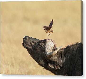 Buffalo And Oxpecker Bird Canvas Print